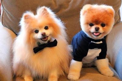 Top 5 des chiens nains à offrir lorsqu'on vit en appartement