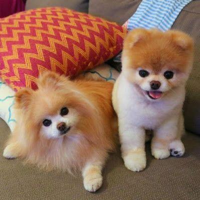 Boo et Buddy sont deux adorables spitz nains, qui ressemblent à deux peluches.